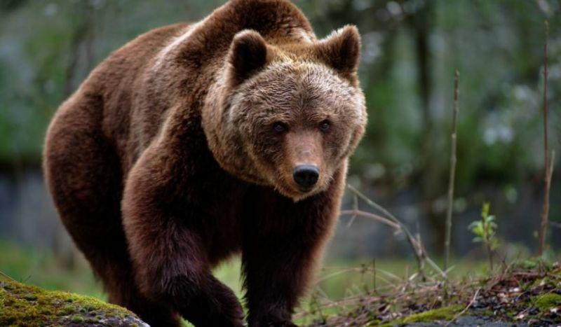 Doi bărbați atacați de urs în județul Mehedinți. A fost emis un mesaj Ro-Alert